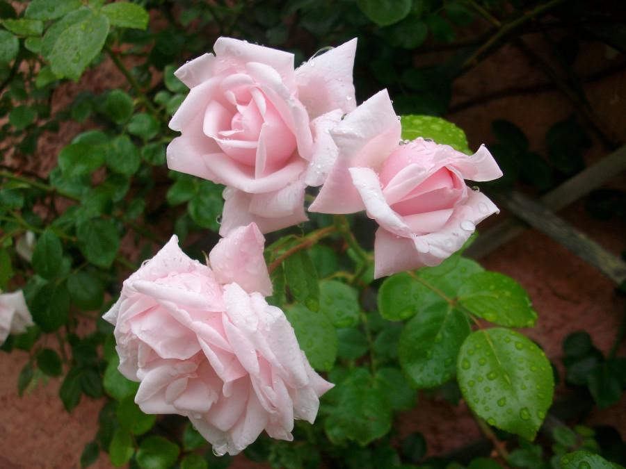 Кто контролирует розы )...
