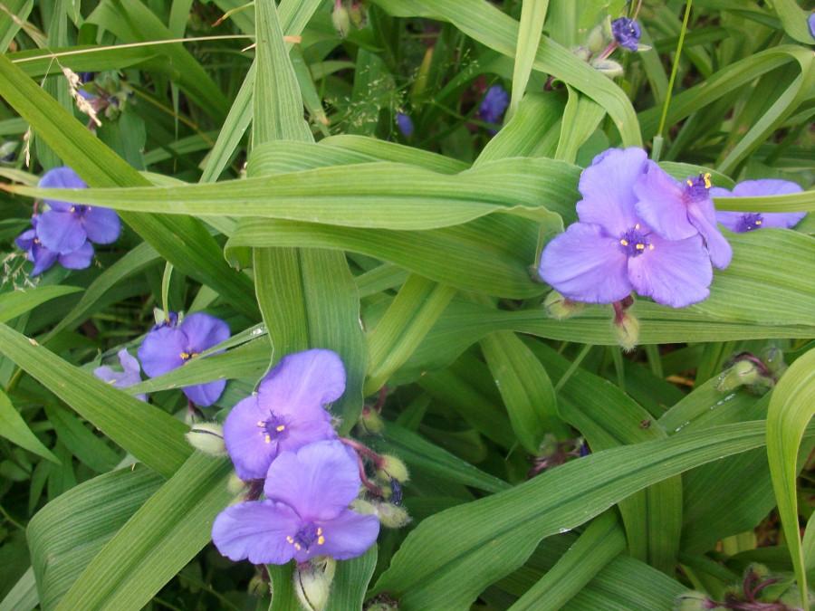 Цветочек - синие глазки