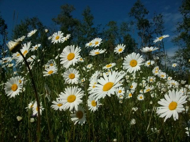 Петр-Павел,лето и полевые цветы)