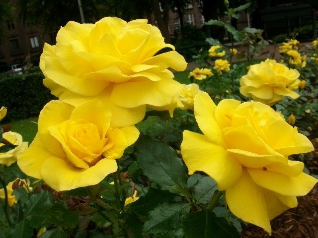 Розы парка Сибелиуса