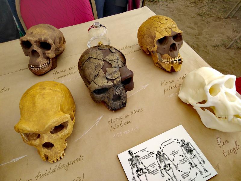 Череп Homo Sapiens