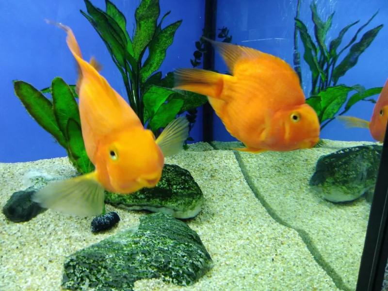 Золотые рыбки - Океанариум Риф в Анапе