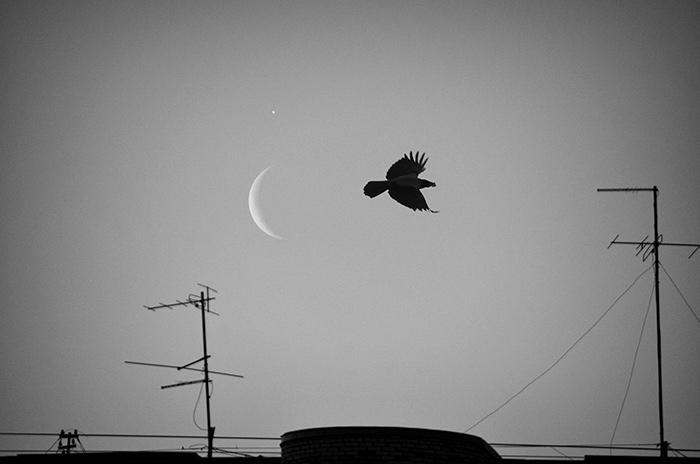 ворона-лунаЧБDSC_0461