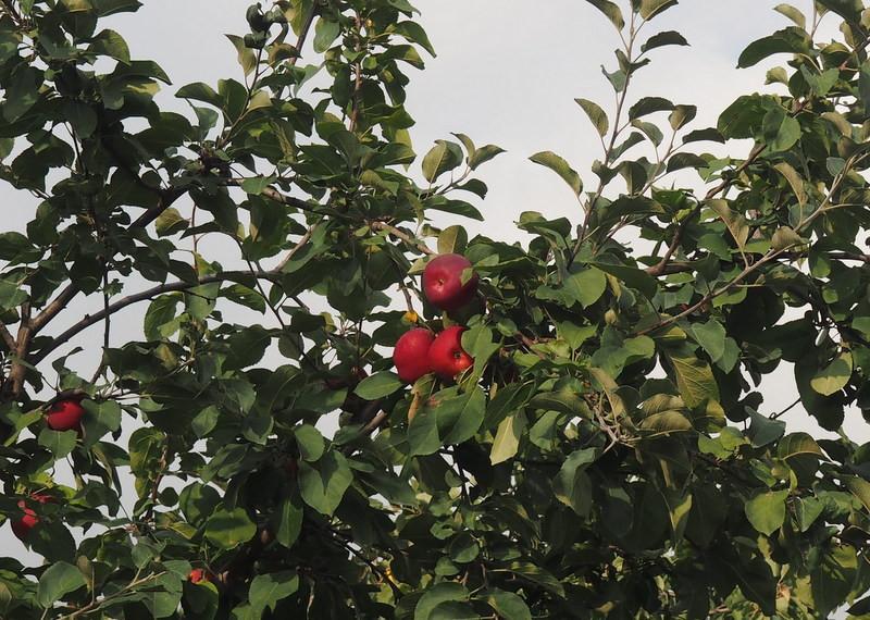 У соседей всегда яблоки краше!