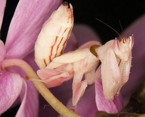 богомол из орхидеи
