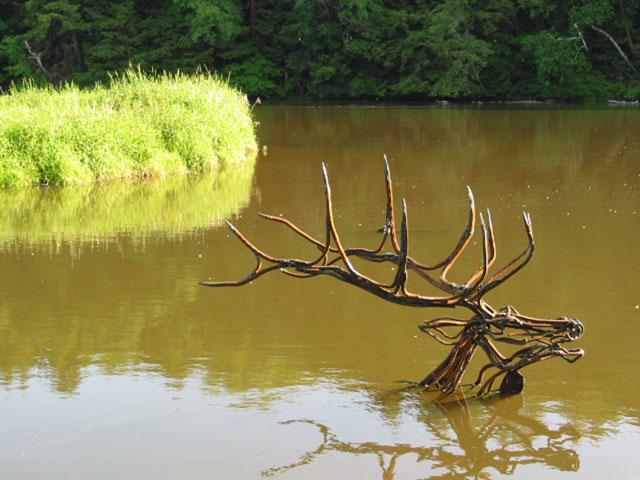 River-Elk-Swimming