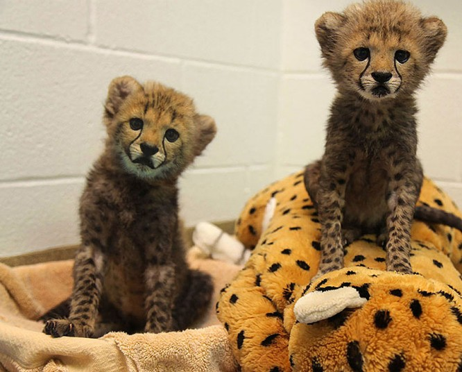 Два  детеныша гепарда, Winspear и Камау, родился 8 июля, которые присоединились к населению Dallas Zoo