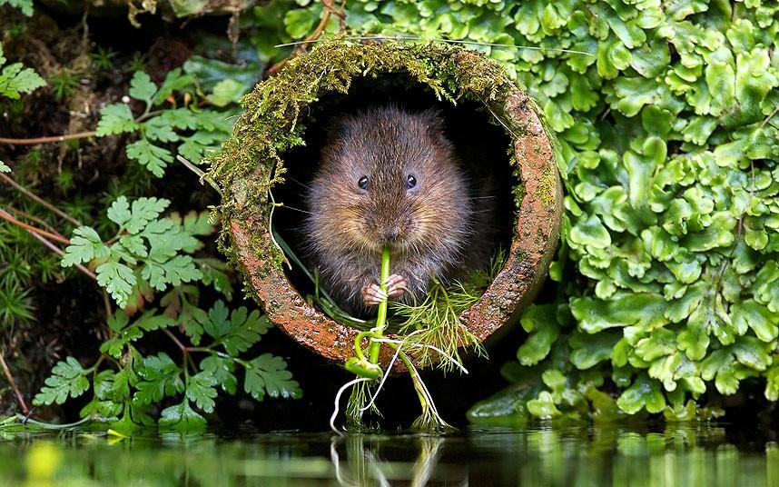 Эта маленькая полевка была замечена сводила со своего гнезда в Кенте леса, и попался на глаза любительские Snapper Марк Бриджер.