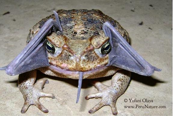 cane-toad-bat