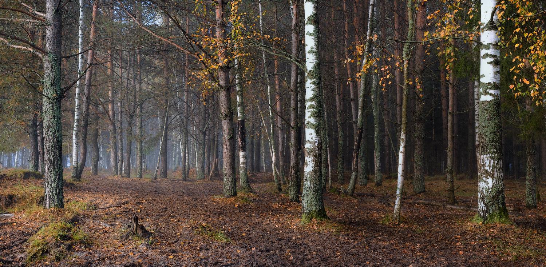 редкие березки в осенном сосновом лесу