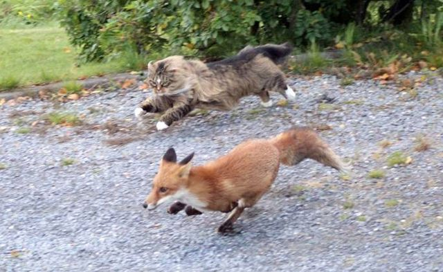 Cat_Vs_Fox-3