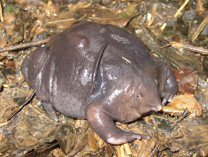 индийская-фиолетовая-жаба