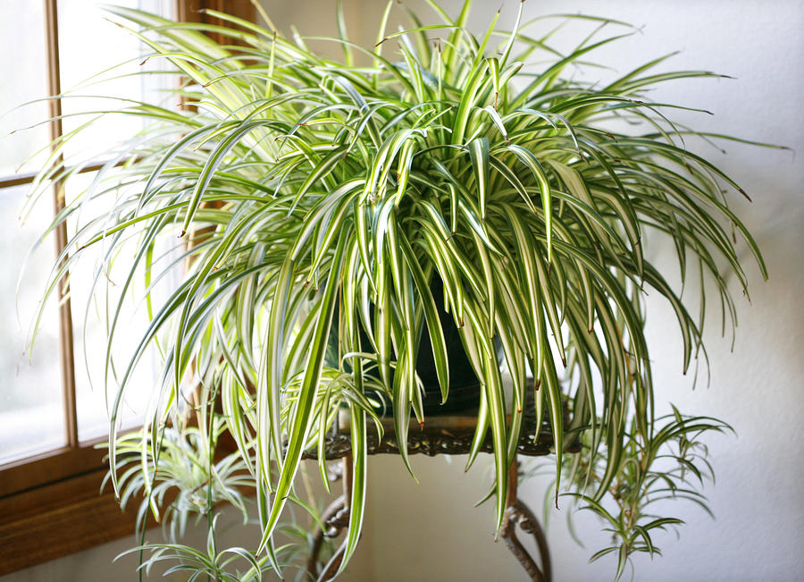 spider-plant-marilyn-hunt