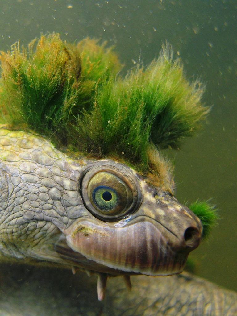 mary-river-turtle4