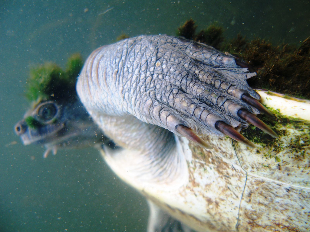 mary-river-turtle5