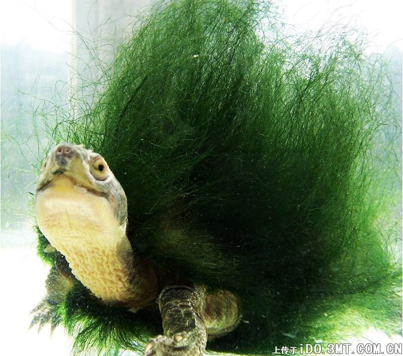 hairy-turtle8