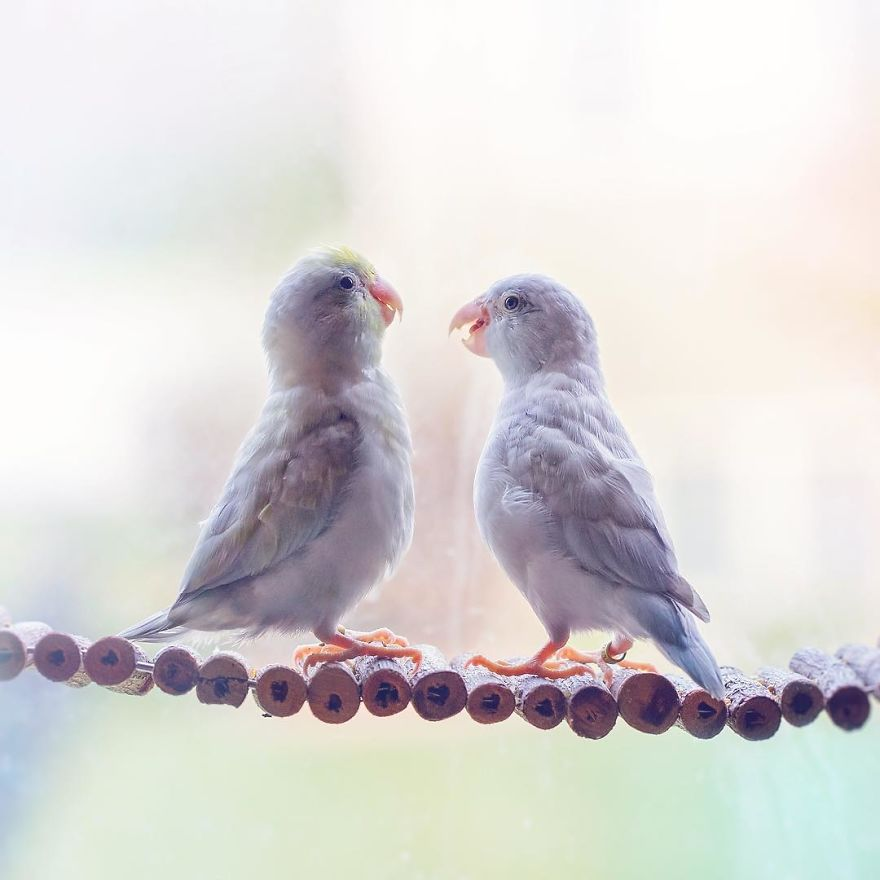 A-Storybook-Love-Between-Pastel-Parrotlets-5a83f998329b6__880 (1).jpg