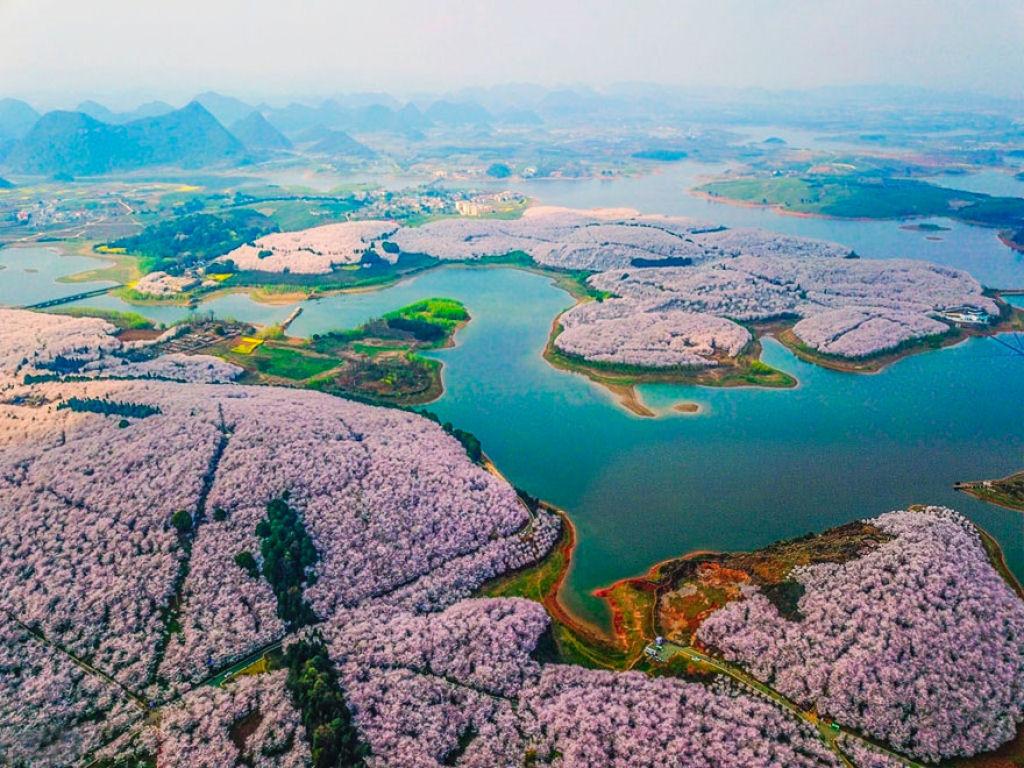 flores_cerejeira_china_2018_11.jpg