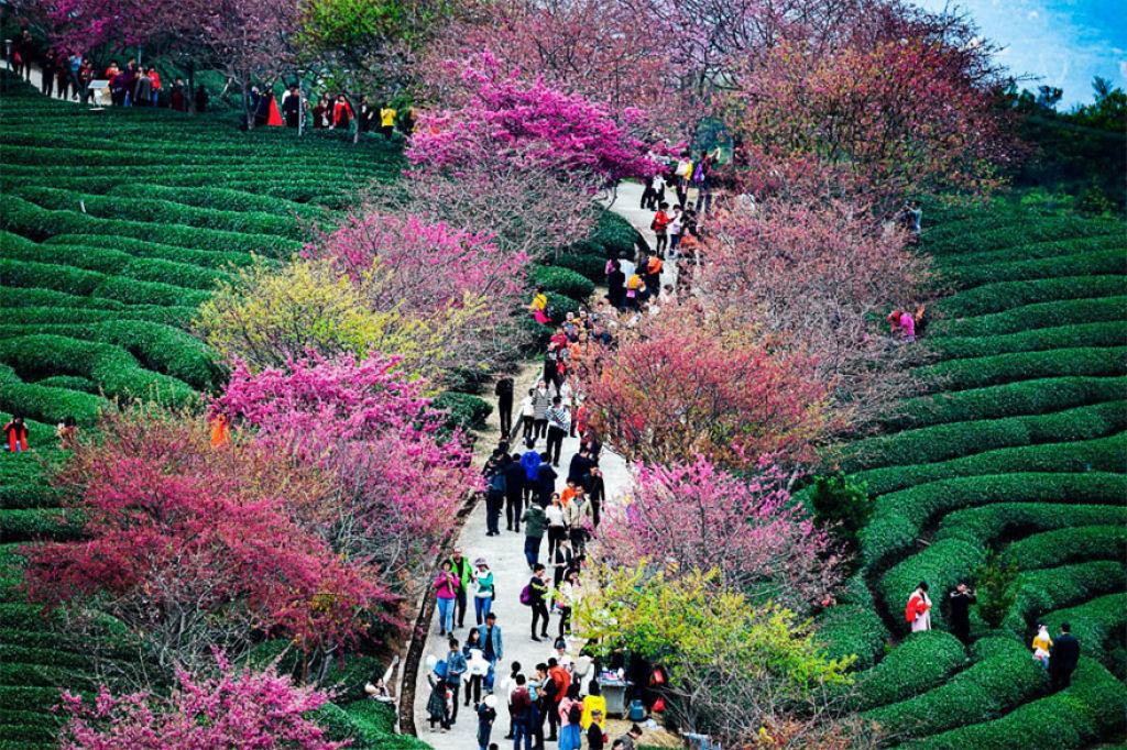 flores_cerejeira_china_2018_12.jpg