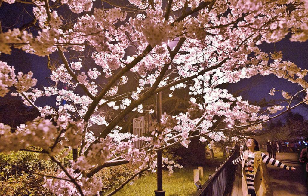 flores_cerejeira_china_2018_15.jpg