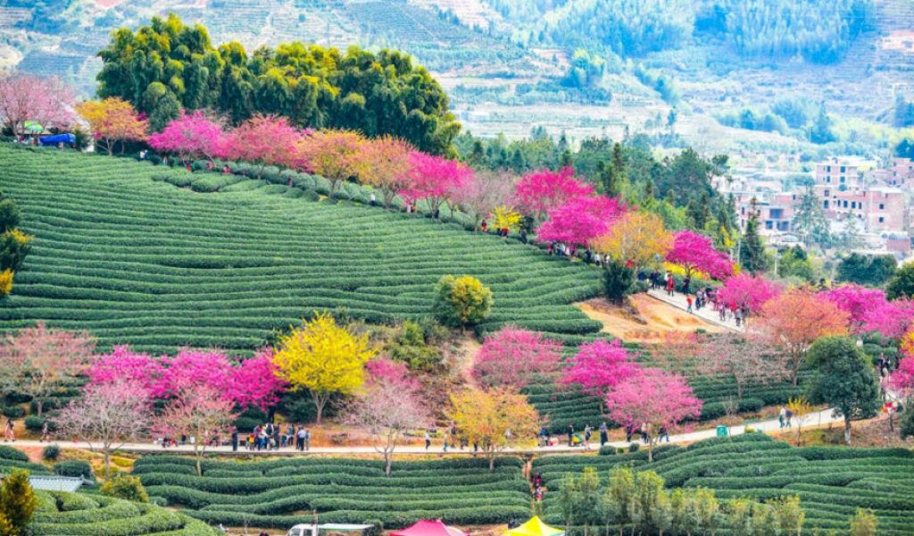 flores_cerejeira_china_2018_19.jpg