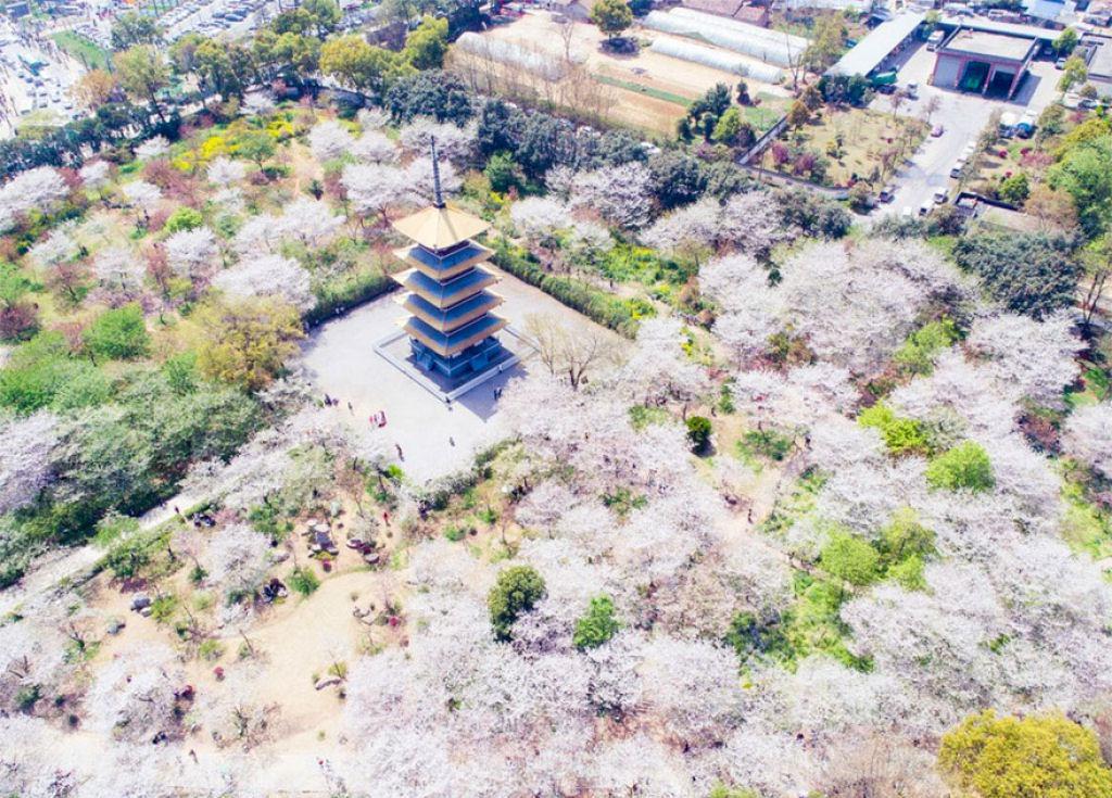 flores_cerejeira_china_2018_20.jpg