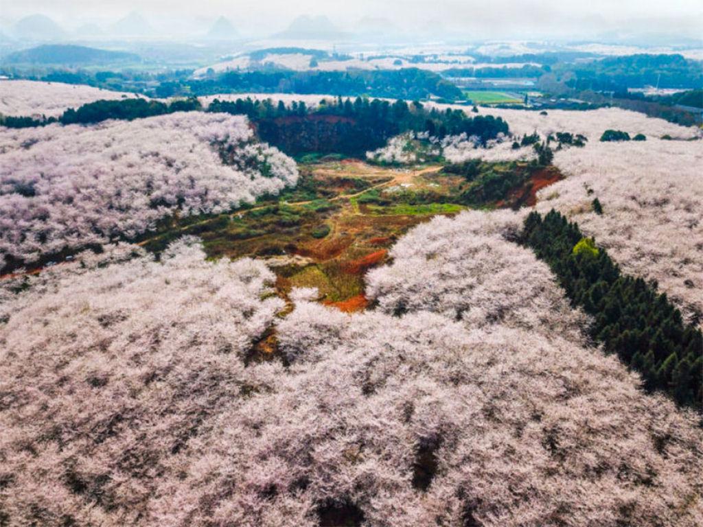 flores_cerejeira_china_2018_22.jpg