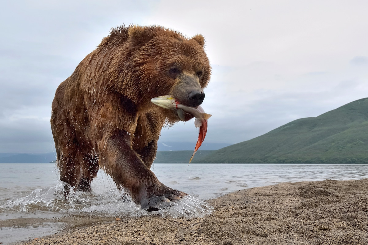 Sergey-Gorshkov-Bear-03736-1.jpg