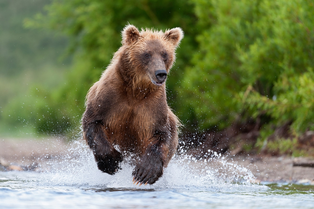 Sergey-Gorshkov-Bear-04466.jpg