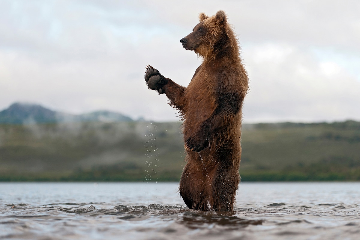 Sergey-Gorshkov-Bear-04470.jpg