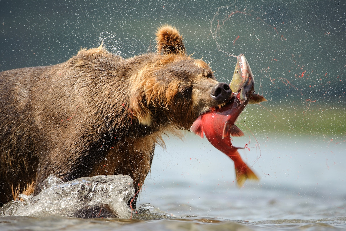 Sergey-Gorshkov-Bear-04524.jpg