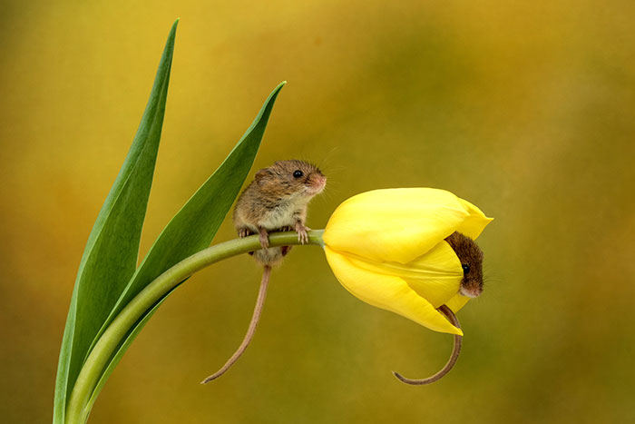 cute-harvest-mice-in-tulips-miles-herbert-1-5ad097c50fd1a__700.jpg