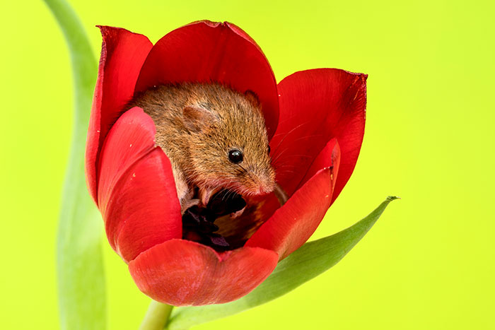 cute-harvest-mice-in-tulips-miles-herbert-2-5ad097c68eec1__700.jpg