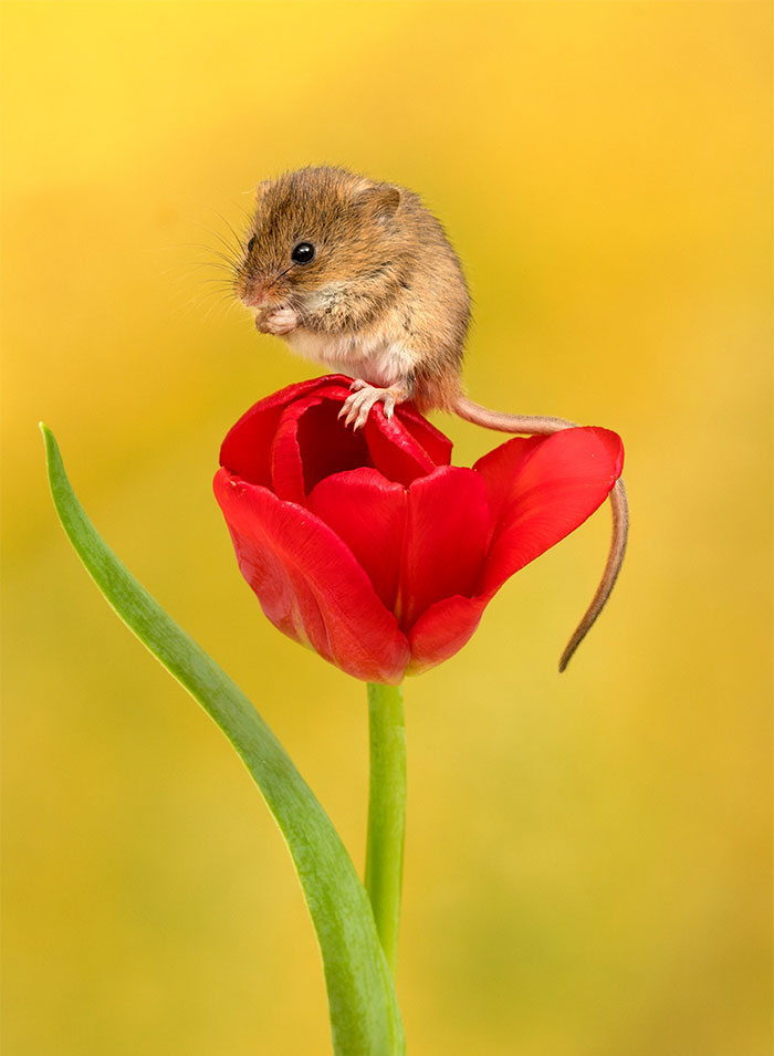 cute-harvest-mice-in-tulips-miles-herbert-3-5ad097c81535d__700.jpg
