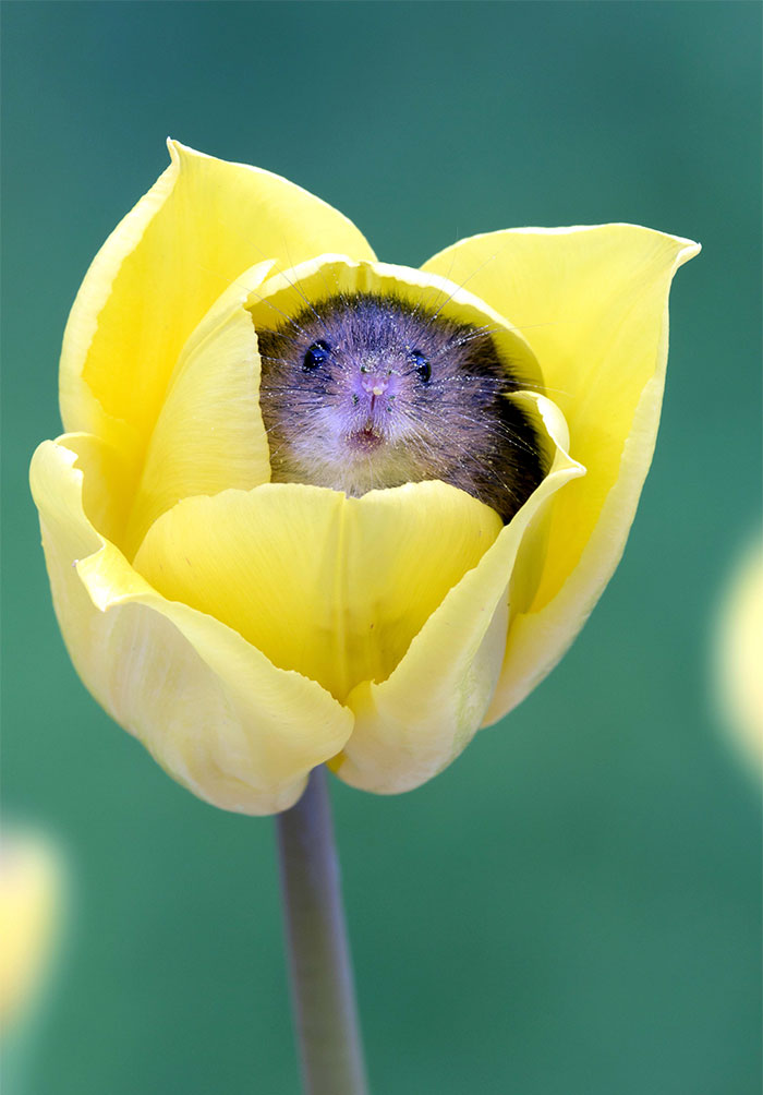cute-harvest-mice-in-tulips-miles-herbert-4-5ad0977cdbf5f__700.jpg