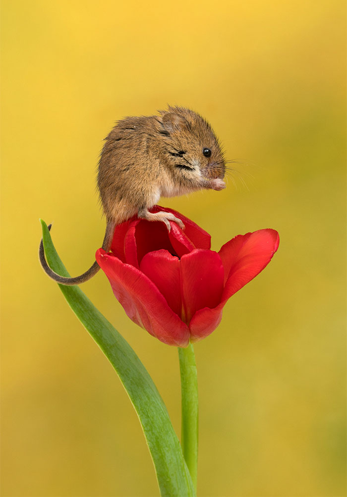cute-harvest-mice-in-tulips-miles-herbert-5-5ad097d05a16c__700.jpg