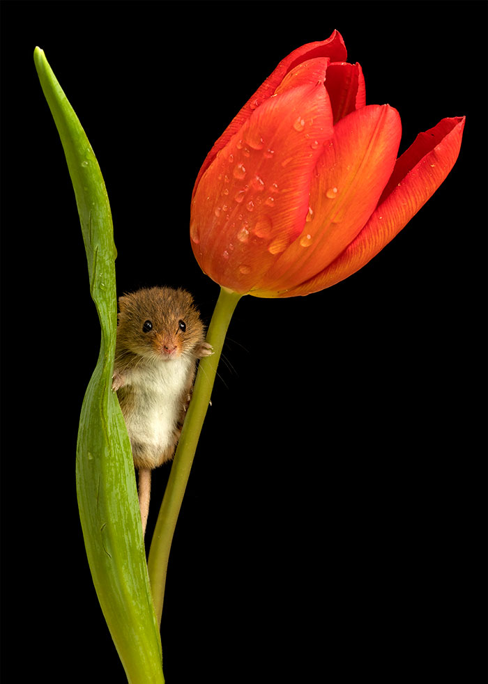 cute-harvest-mice-in-tulips-miles-herbert-7-5ad097d3546a9__700.jpg