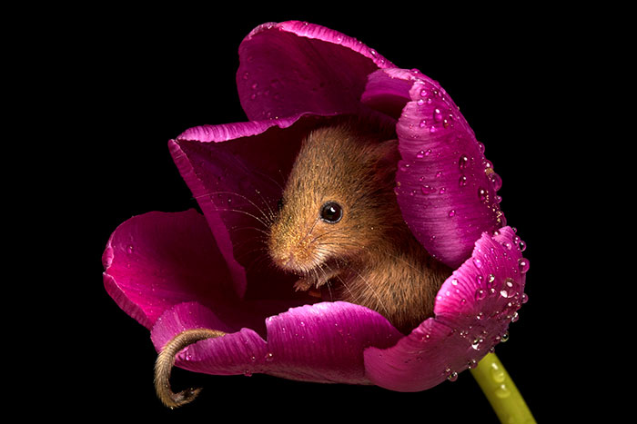 cute-harvest-mice-in-tulips-miles-herbert-8-5ad097d4c0d73__700.jpg