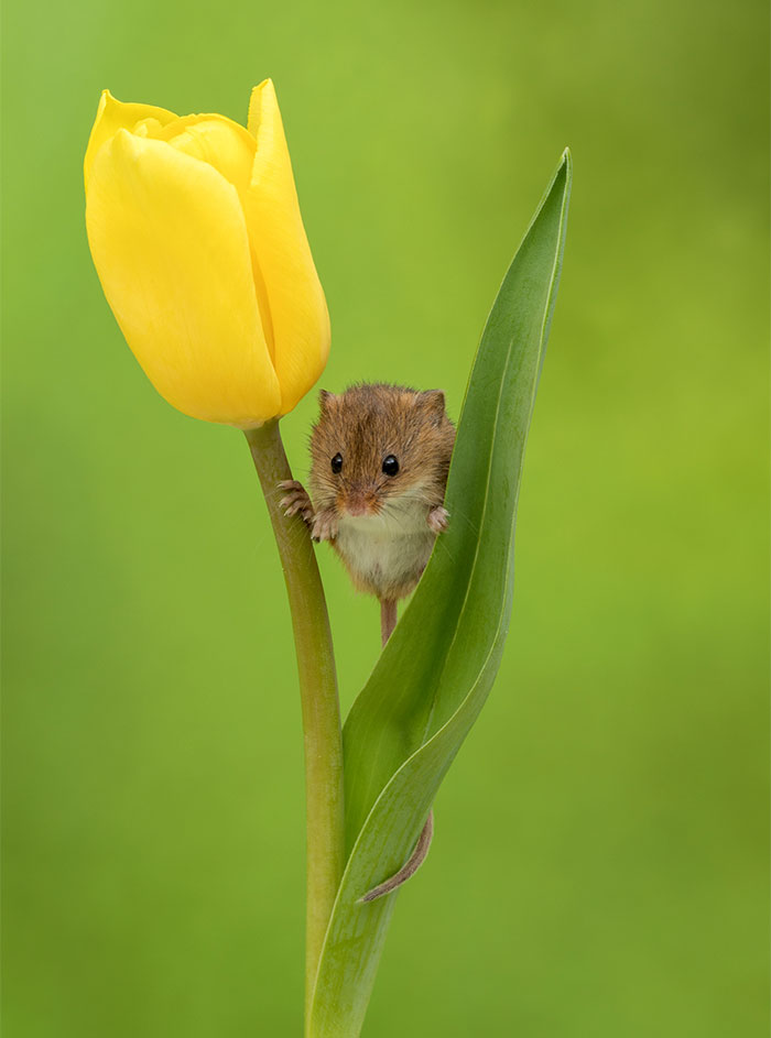 cute-harvest-mice-in-tulips-miles-herbert-10-5ad097e057ffc__700.jpg