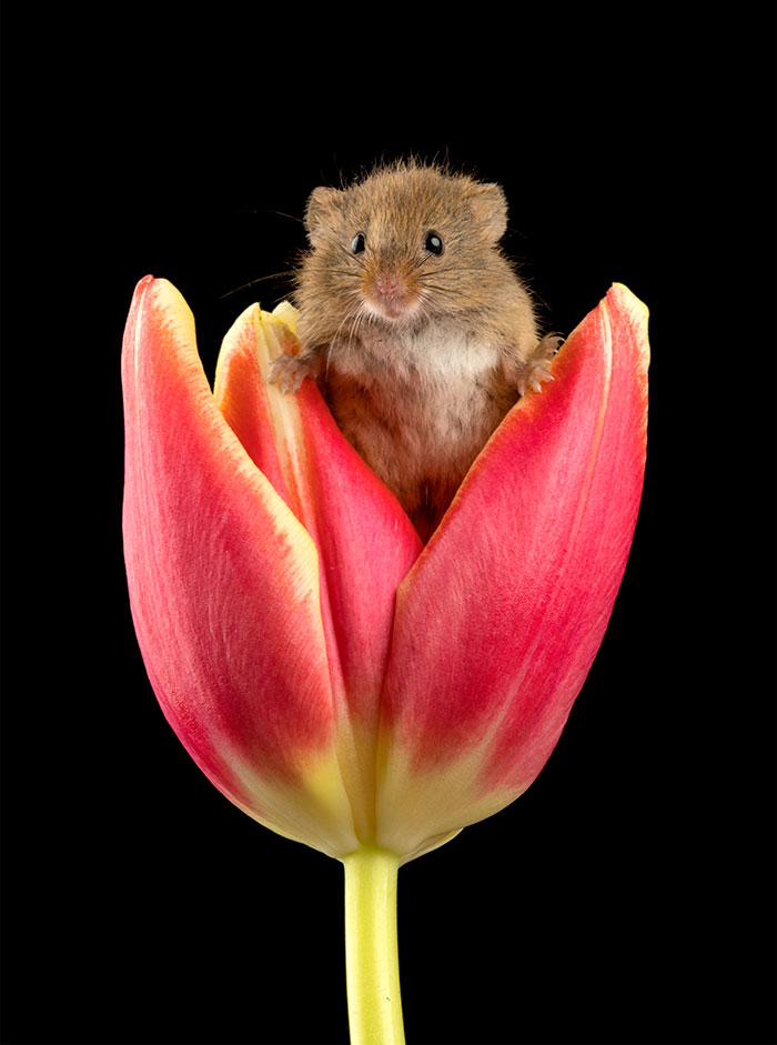 cute-harvest-mice-in-tulips-miles-herbert-11-5ad097e1c8b65__700.jpg