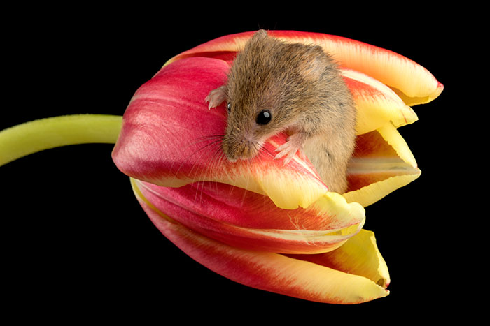 cute-harvest-mice-in-tulips-miles-herbert-12-5ad097e3304cf__700.jpg