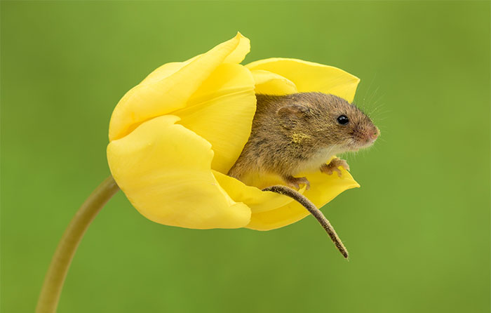 cute-harvest-mice-in-tulips-miles-herbert-13-5ad097e44fd82__700.jpg