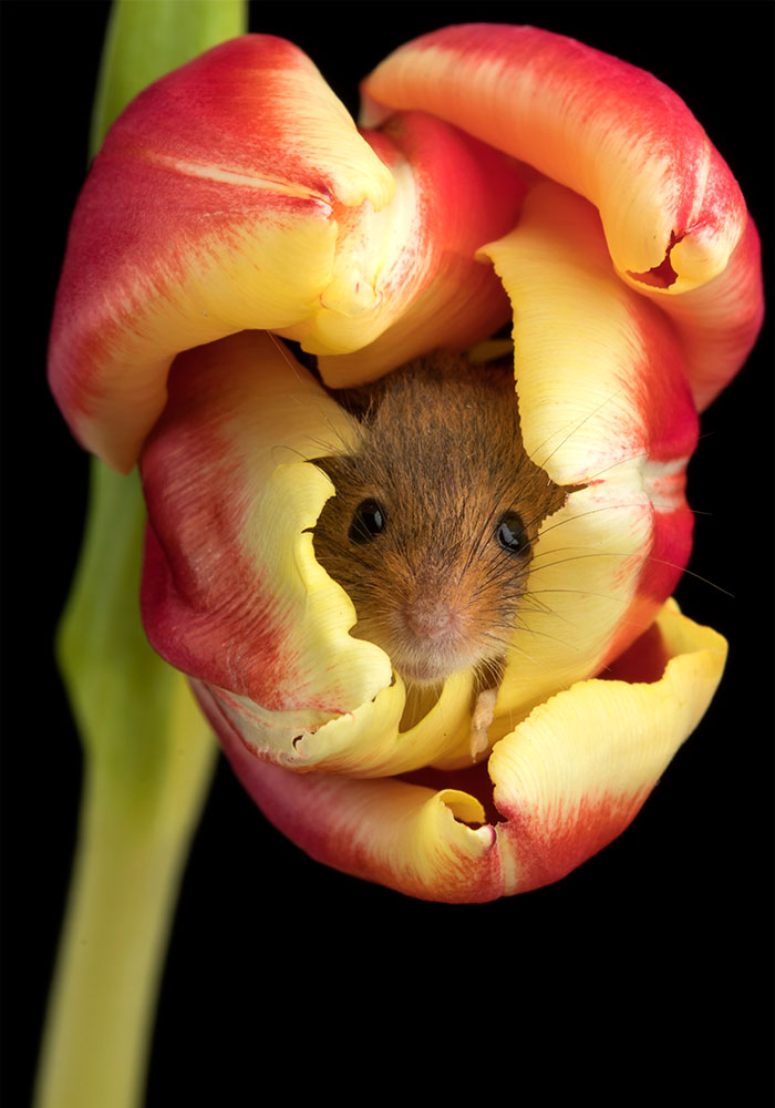 cute-harvest-mice-in-tulips-miles-herbert-16-5ad097a3c282c__700.jpg