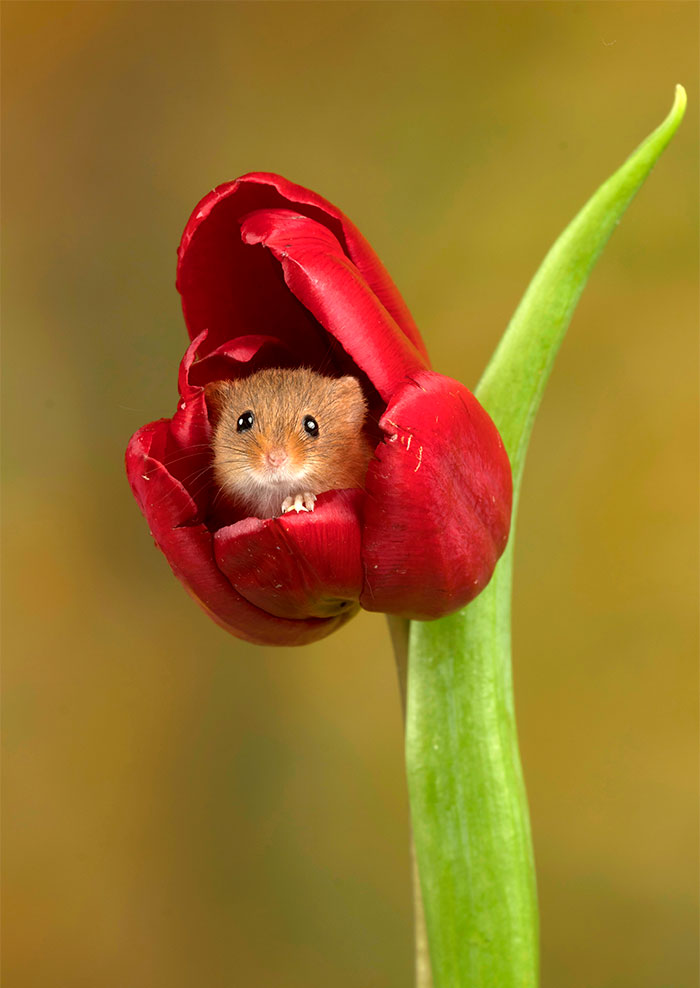 cute-harvest-mice-in-tulips-miles-herbert-20-5ad09794d64b0__700.jpg