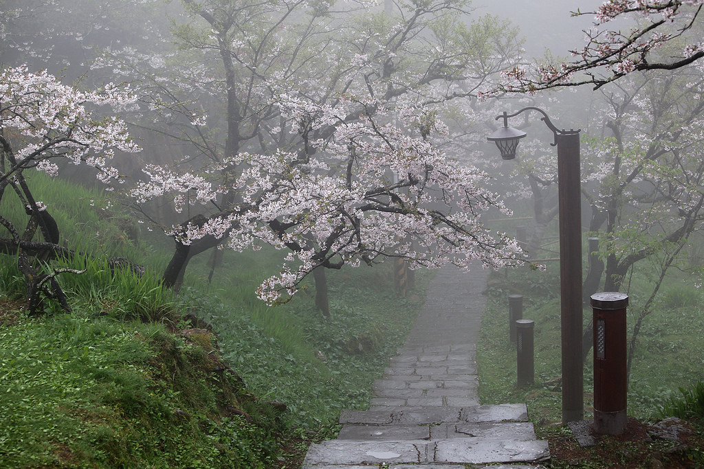 Красивые цветущие вишни от Ezin Tseng
