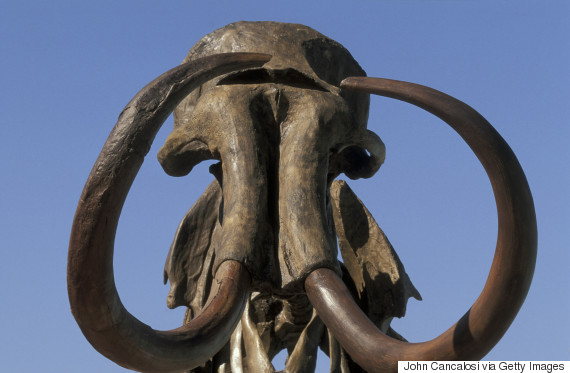 ADULT MALE HEBIOR MAMMOTH. MAMMUTHUS PRIMIGENIUS. WOOLY MAMMOTH. 11,000 YEARS OLD.