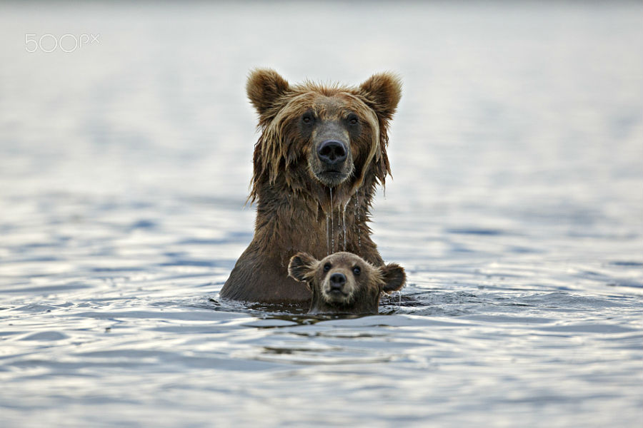 grizzly-in-deep-water-37094194.jpg