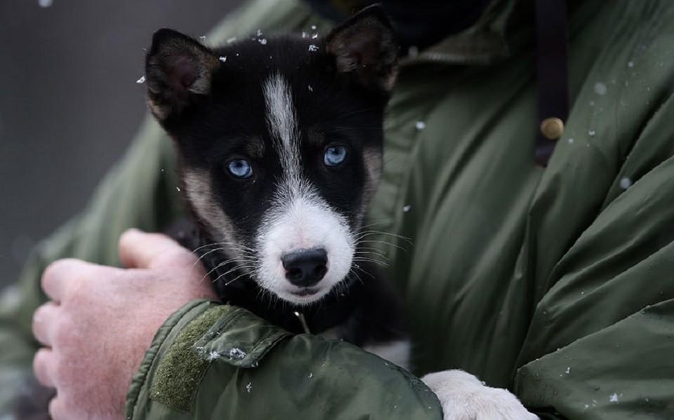 ANIMALS Huskies 155241