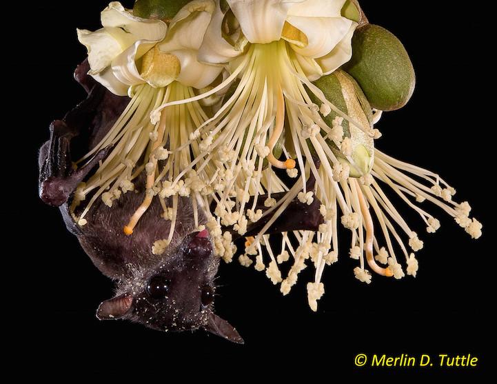 Cave nectar bat (Eonycteris spelaea, Pteropodidae); durian polli