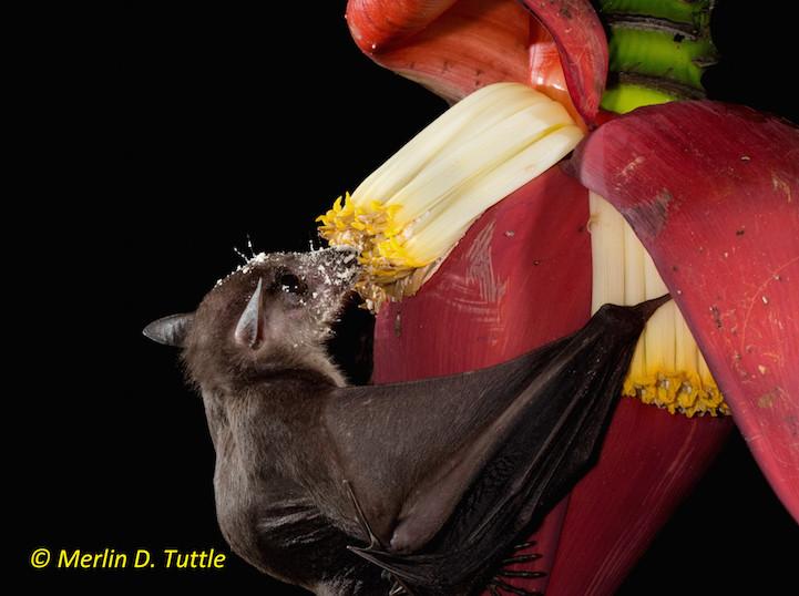 Cave Nectar Bat (Eonycteris spelaea), Pteropodidae pollinating Wild Banana
